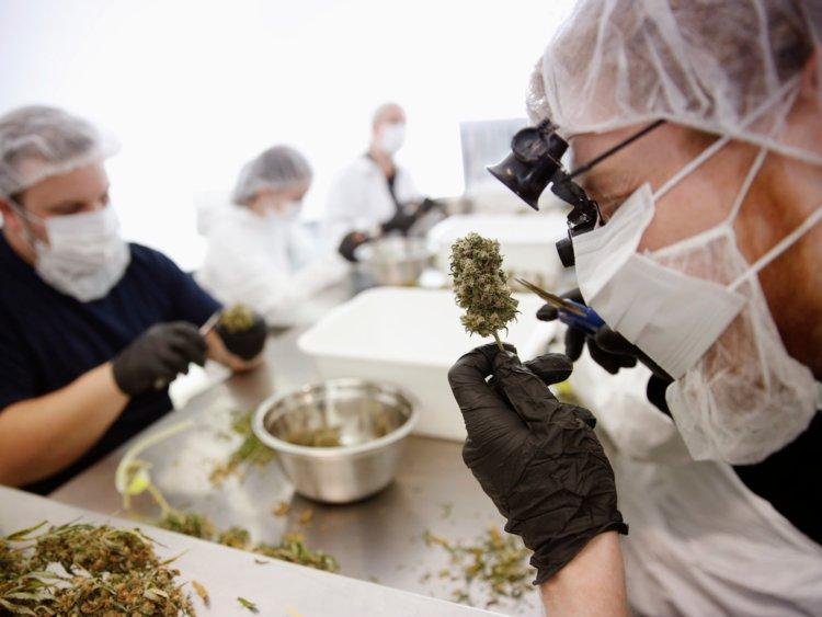 Fiori di canapa - Cannabis fiore